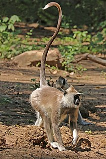 Tufted gray langur species of mammal