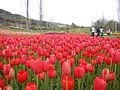 Tulip (11).JPG