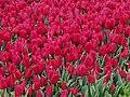 Tulip 1300249.jpg