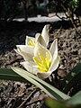 Tulipa biflora UME.jpg