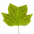 Tuliptree leaf with ozone damage.jpg