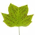 Tuliptree leaf with ozone damage.jpg