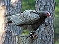 Turkey Vulture RWD at CRC1.jpg