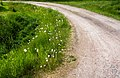 Turn of the road with dandelions.jpg