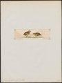 Turnix pyrrhothorax - 1820-1863 - Print - Iconographia Zoologica - Special Collections University of Amsterdam - UBA01 IZ17100169.tif