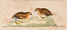 Turnix velox - 1820-1863 - Print - Iconographia Zoologica - Special Collections University of Amsterdam - UBA01 IZ17100171 Cropped.jpg