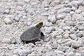 Turtle (34748875854).jpg