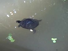 Fil:Turtles in Atocha garden (Madrid) 02.ogv
