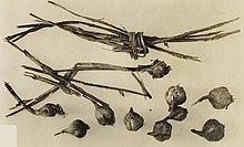 Чеснок к какой группе растений относится