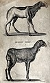 Two African sheep. Etching by Heath. Wellcome V0021219.jpg