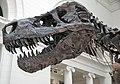 Tyrannosaurus rex (theropod dinosaur) (Hell Creek Formation, Upper Cretaceous; near Faith, South Dakota, USA) 13.jpg