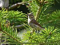 Tytler's Leaf Warbler (Phylloscopus tytleri) (30876181887).jpg
