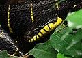 Ularburong Boiga dendrophila.jpg