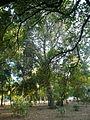 Una alzina als jardins de Can Sentmenat P1510547.jpg
