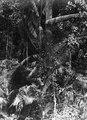 Ung rottingpalm som börjar skjuta i höjden. Kabupaten Bolaang Mongondow, Sulawesi, Menado - SMVK - 1987D.tif