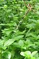 Unidentified Argiope - Signature spider at Peravoor (19).jpg