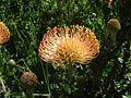Unknown Protea.jpg