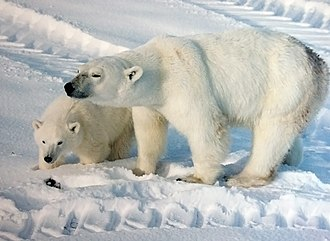 Polar climate - A polar bear with cub