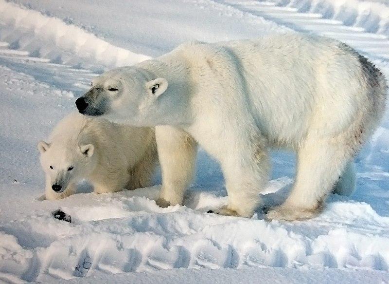 Ursus maritimus mother with cub.jpg