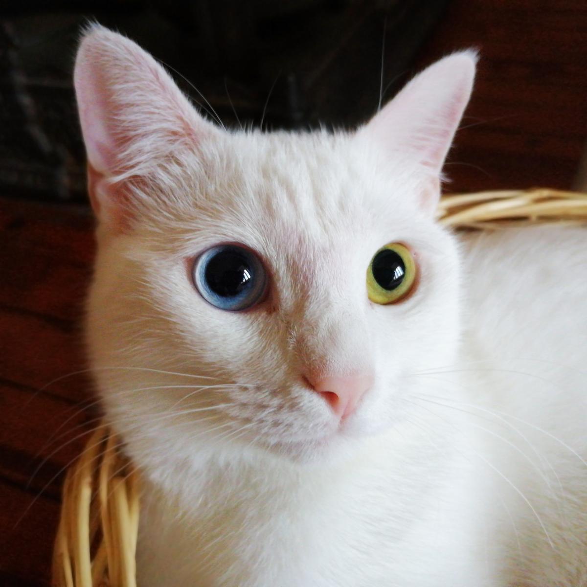 Odd Eyed Cat Wikipedia