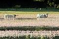 Vacas pastando en el agua (28440210632).jpg