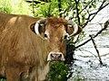 Vache Le Lonzac (2).jpg