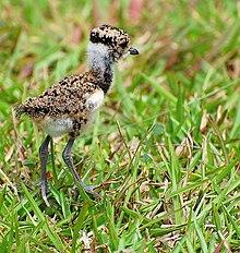 Pássaro Quero-quero - Artigo 220px-Vanellus_chilensis_chick