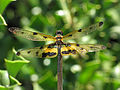 Variable Flutterer(Rhyothemis variegata) Male 9318.jpg