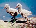 Variable oyster catcher chicks.jpg