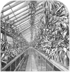 Veitch Nurseries - Messrs Veitch's Nepenthes house as illustrated in The Gardeners' Chronicle, 1872.