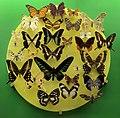Verona, museo civico di storia naturale, esposizione di insetti, lepidotteri 01.jpg