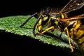 Vespula germanica (European wasp) side.jpg