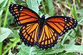Viceroy - Limenitis archippus, Julie Metz Wetlands, Woodbridge, Virginia.jpg