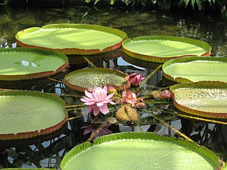 Thaddäus Haenke - Victoria amazonica, first identified by Haenke in 1801