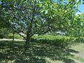 Vigne et verger à Riom (Madargue).jpg