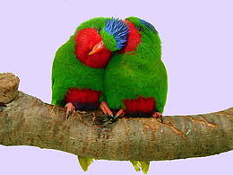 Vini australis -two on a perch-8a.jpg