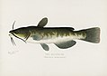 Vintage illustrations by Denton from Game Birds and Fishes of North America digitally enhanced by rawpixel 11.jpg