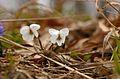 Viola alba 2 Flowers.JPG