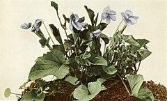 Viola labradorica WFNY-142B.jpg