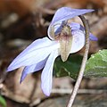 Viola vaginata (flower s3).jpg