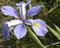 Virginia Iris.png
