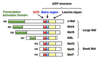 MAFF (gene) - Structures of the Maf family proteins.
