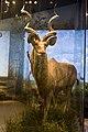 WLA hmns Greater Kudu 2.jpg