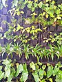Wall planting in Salem.jpg