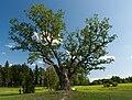 War oak in Pühajärve.jpg