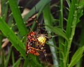 Wasp eating spider (4220003664).jpg