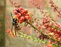 Wasp on Mahonia blossom (29582019960).jpg