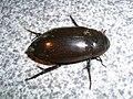 Water beetle nagerhole.jpg