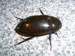 English: Hydrophilidae water beetle, Nagerhole...