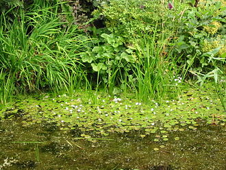 Ditch - Waterplants growing in a ditch in the Netherlands, showing Sagittaria sagittifolia to the right.